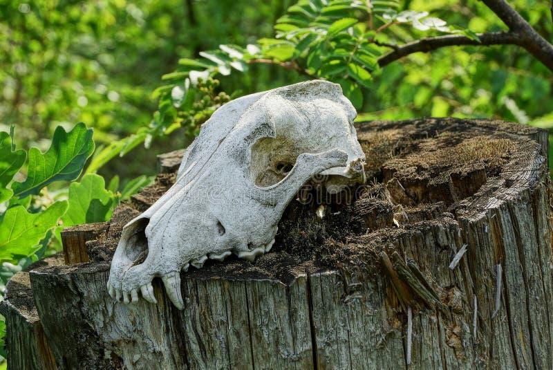 一个动物的白色老头骨在一个树桩的在森林里 免版税库存图片