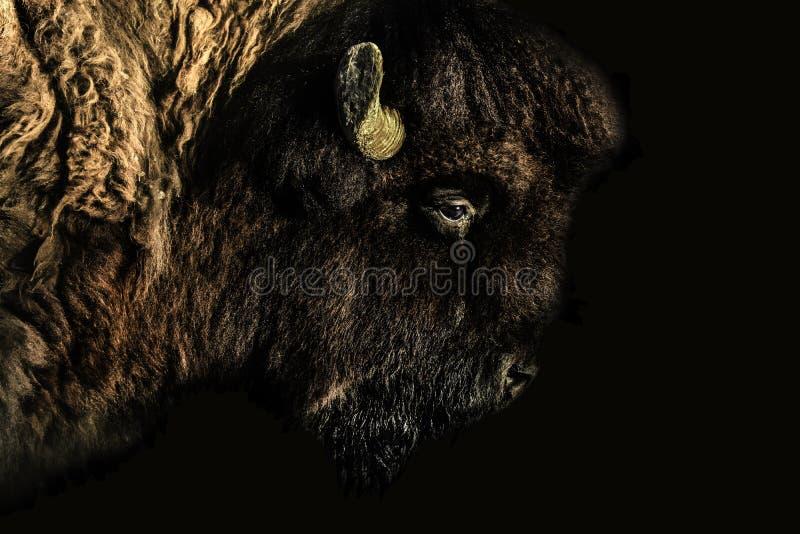 一个北美野牛的射击的真正地俏丽的关闭 免版税库存图片