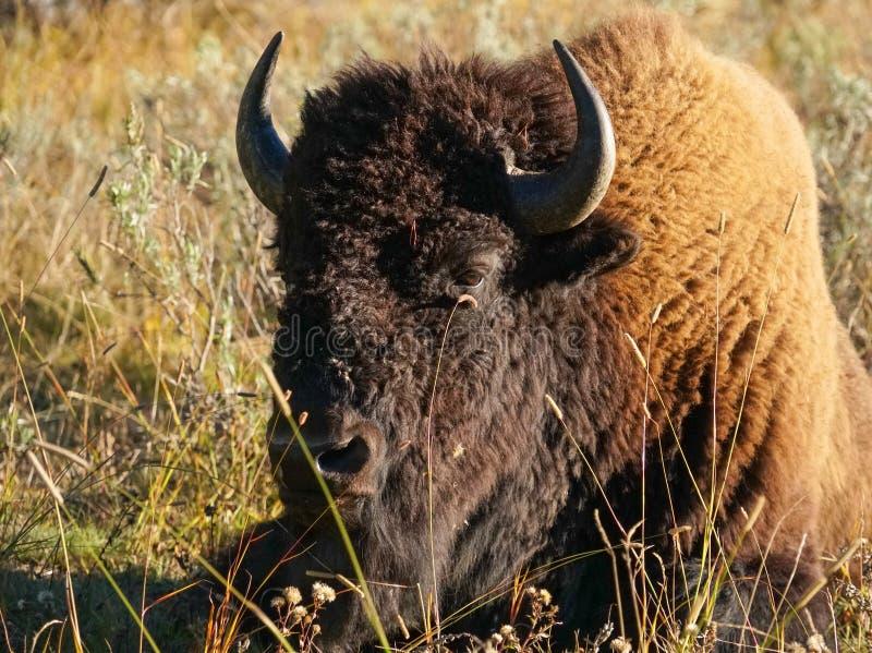 一个北美野牛采取下午午睡 库存照片