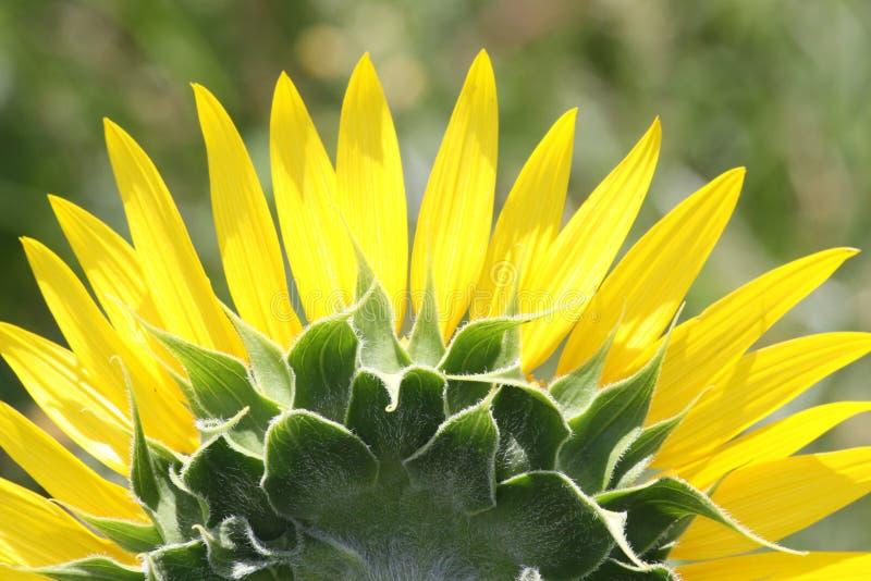 一个半向日葵的特写镜头从后面 免版税库存照片