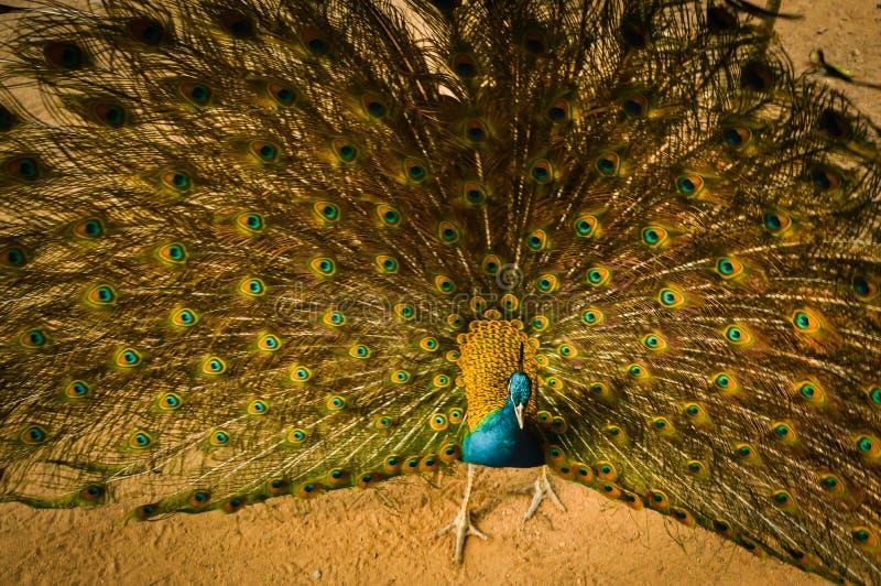 一个华美的孔雀 免版税图库摄影
