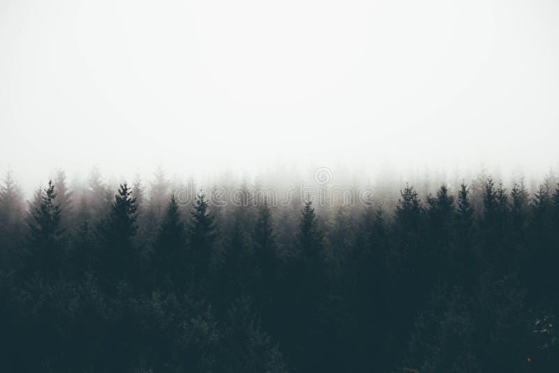 一个厚实的森林与松树和文本的白色空间的美丽的射击雾的 皇族释放例证