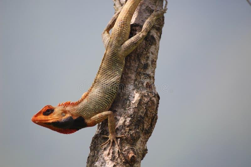 一个变色蜥蜴 免版税库存图片