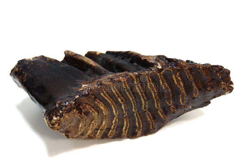 一个古老庞然大物的被隔绝的牙片段在白色背景的 库存照片