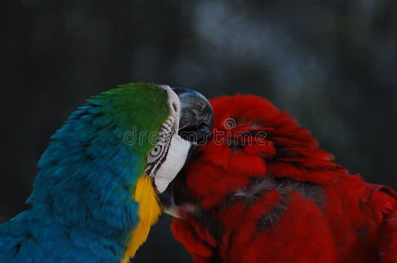 一个可爱的对在狂放的金刚鹦鹉 库存图片
