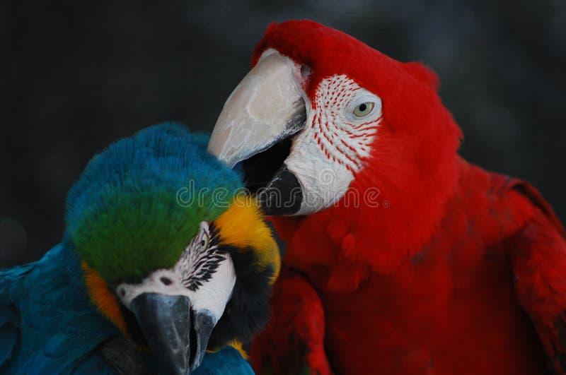 一个可爱的对金刚鹦鹉互相帮助 库存照片
