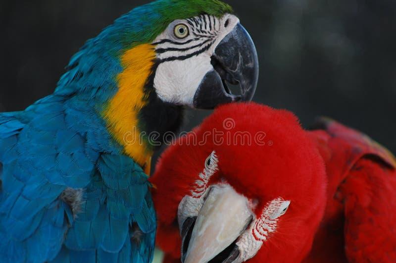 一个可爱的对金刚鹦鹉互相帮助 免版税库存图片