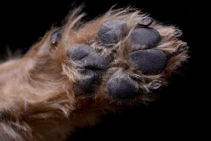 一个可爱的约克夏狗爪子的近景 库存图片