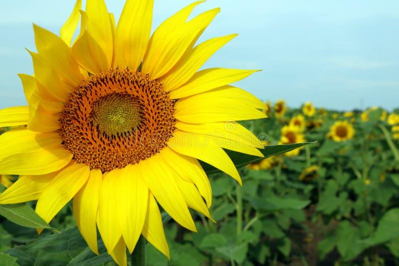 一个向日葵的特写镜头与振翼在微风的瓣的 免版税库存照片