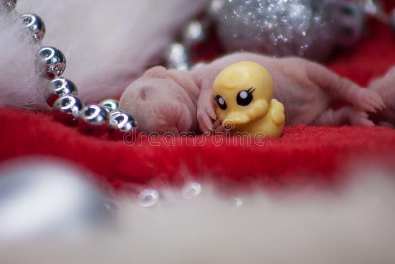 一个喜爱的玩具的概念 与一只小的鸭子的老鼠 库存照片