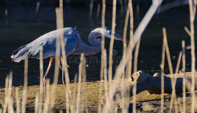 一个在沼泽芦苇后的伟大蓝色的苍鹭的巢皮 库存图片
