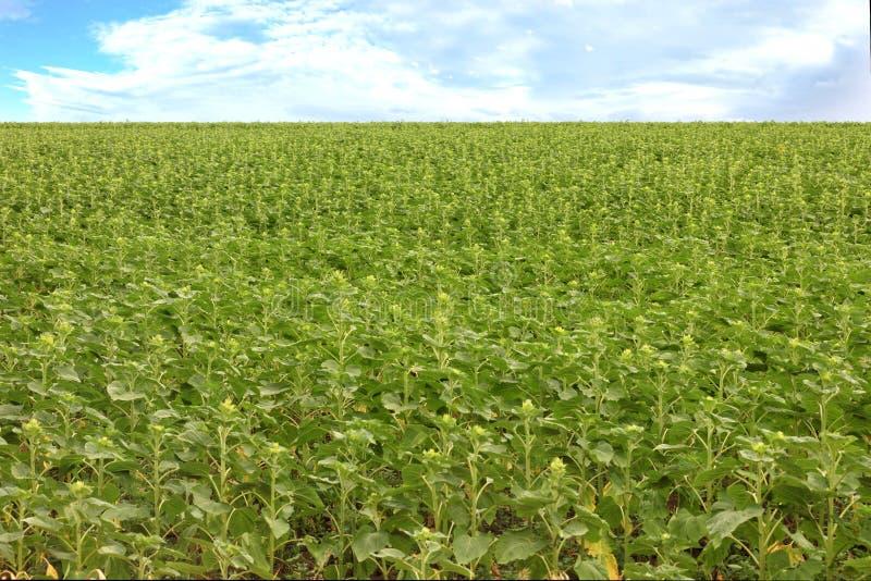一个增长的年轻向日葵的绿色领域被弄脏的背景  图库摄影