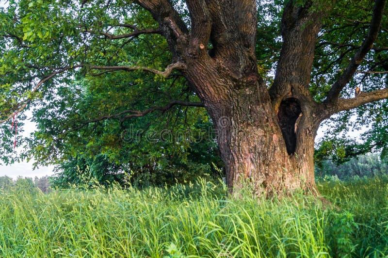 一个夏天晚上的平静的秀丽在落寞乡下 与深凹陷的一个老分支的橡树在它的树干和醉汉加冠 库存图片