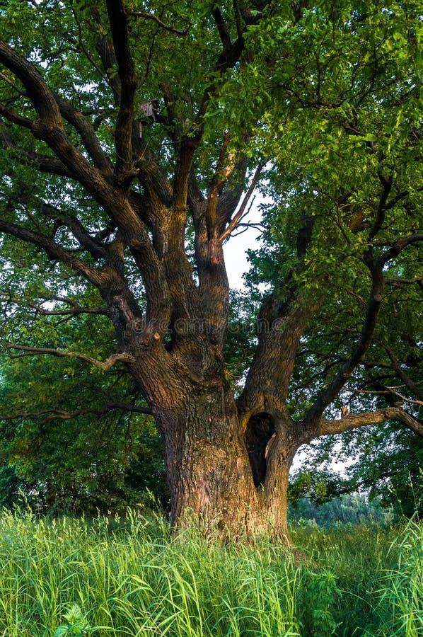 一个夏天晚上的平静的秀丽在落寞乡下 与深凹陷的一个老分支的橡树在它的树干和醉汉加冠 免版税库存图片