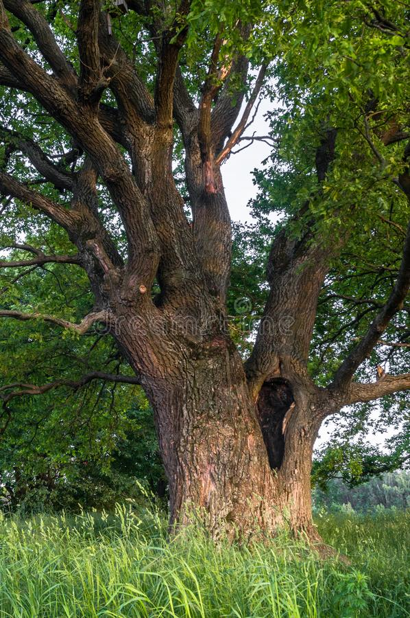 一个夏天晚上的平静的秀丽在落寞乡下 与深凹陷的一个老分支的橡树在它的树干和醉汉加冠 库存照片