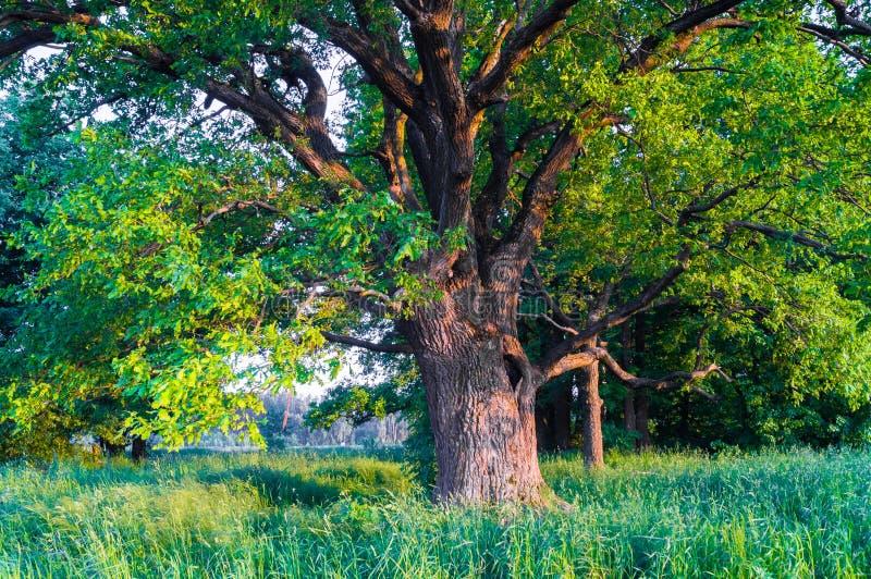 一个夏天晚上的平静的秀丽在落寞乡下 与深凹陷的一个老分支的橡树在它的树干和醉汉加冠 免版税库存照片