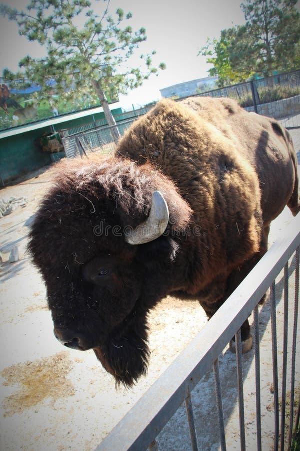 一个大北美野牛的看法 库存照片