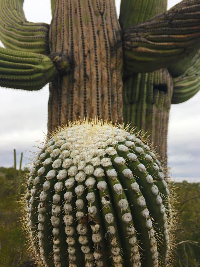 一个大柱仙人掌仙人掌的接近的看法在地面蛇沙漠 免版税库存图片