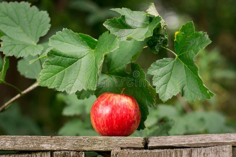 一个大红色苹果在篱芭放置在庭院里 库存图片