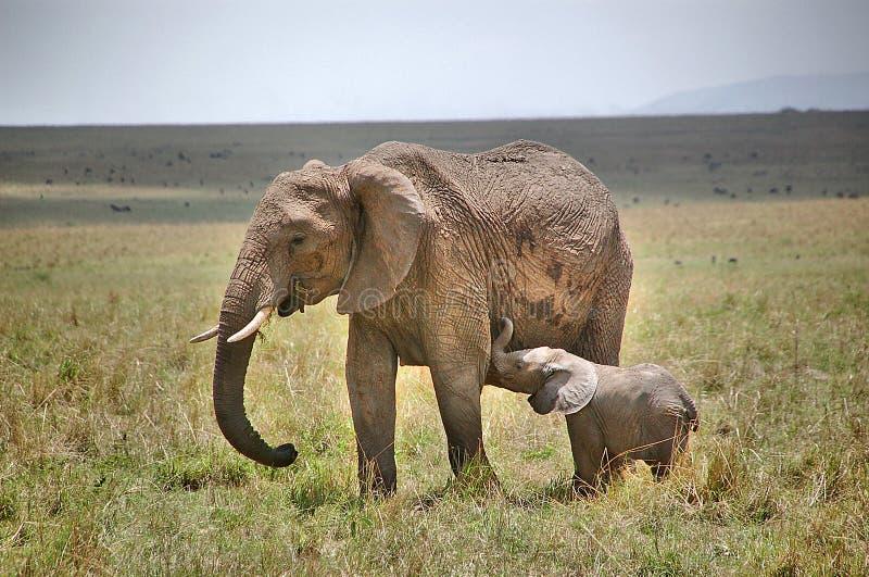 一个大象家庭的图象在马塞人玛拉国家公园在肯尼亚 库存照片