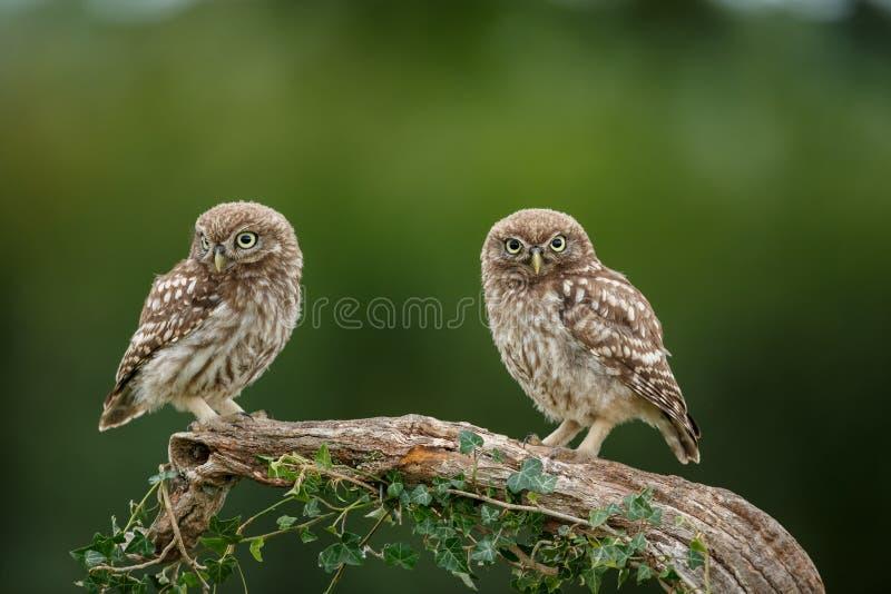 一个好的栖息处的两个小猫头鹰青少年 免版税库存照片