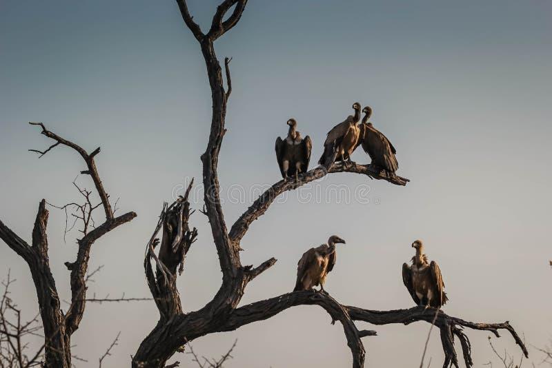 一个委员会的特写镜头或雕地点在干树枝在Hoedspruit,南非 库存图片