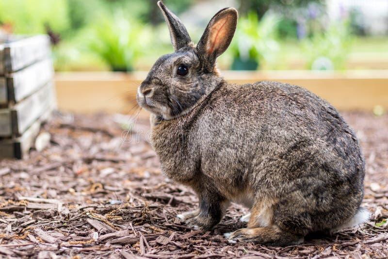 一个姿势的小灰色国内小兔停留在庭院里 免版税库存照片