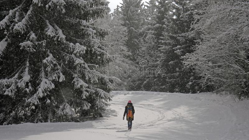 一个孤立女性徒步旅行者通过一个积雪的森林走在一个高山森林里在冬天 免版税库存照片