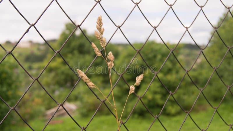 一个孤立黄色钉在栅格篱芭旁边增长 库存照片