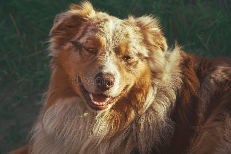 一个家谱庄严狗愉快的微笑的澳大利亚牧羊人纯血统澳大利亚人的画象在公园走 库存照片