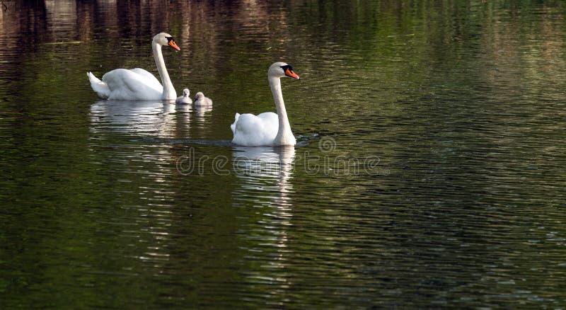 一个对与小鸡游泳的白色天鹅在池塘 库存图片