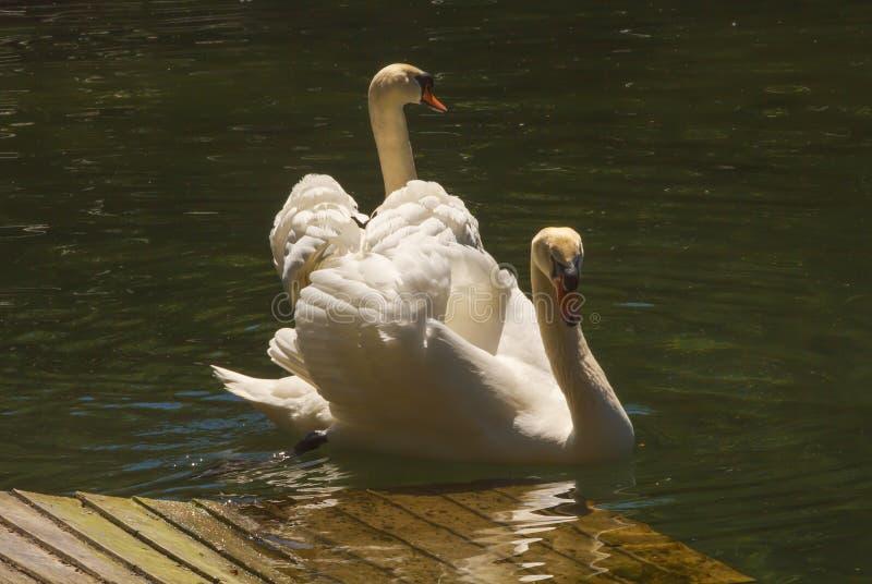 一个对优美的白色天鹅游泳在一个小池塘在公园 库存照片