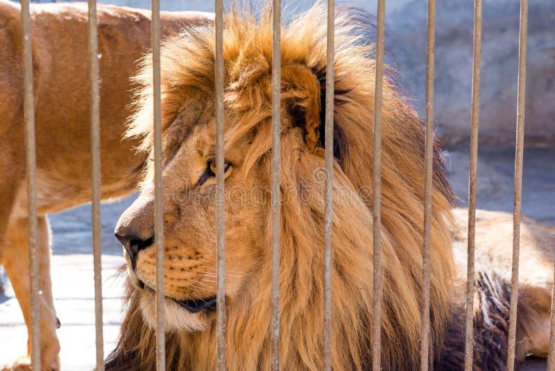 一个对在囚禁的狮子在一个动物园里关在监牢里 力量和侵略在笼子 免版税库存图片