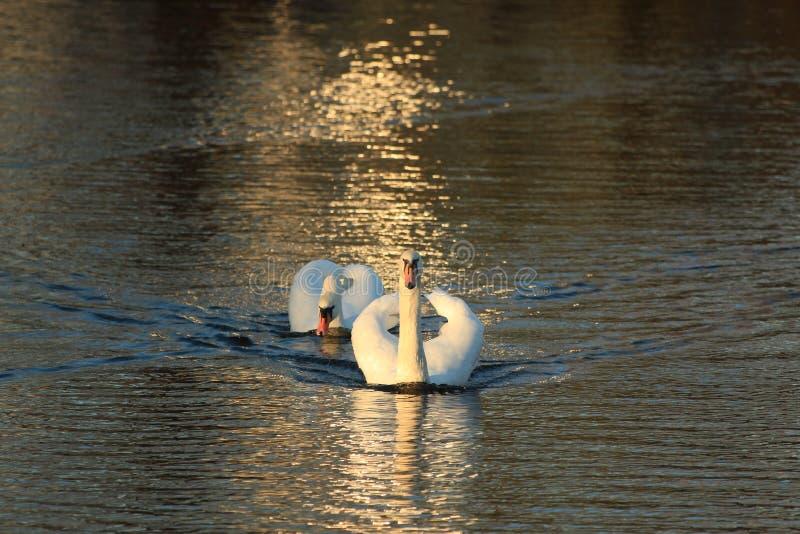 一个对在池塘的白色天鹅 库存图片