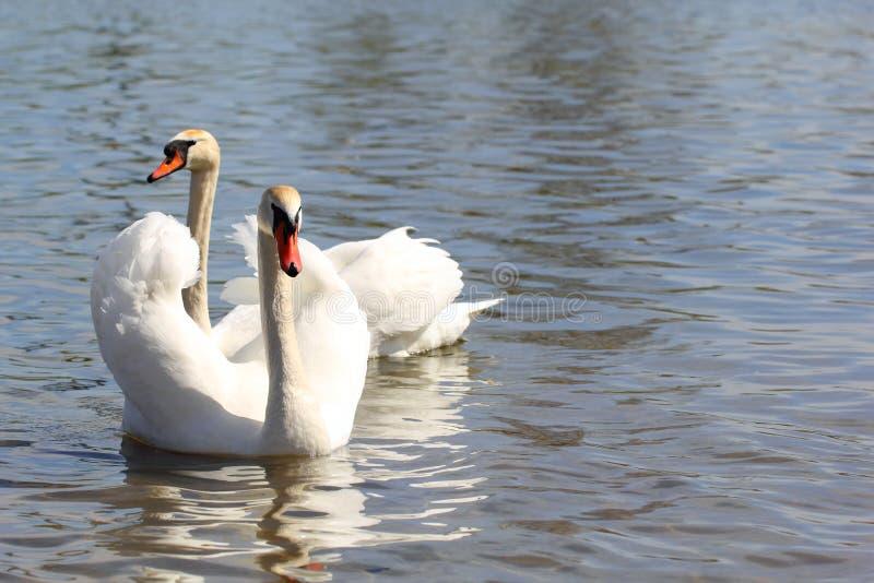一个对在湖的白色天鹅 免版税图库摄影