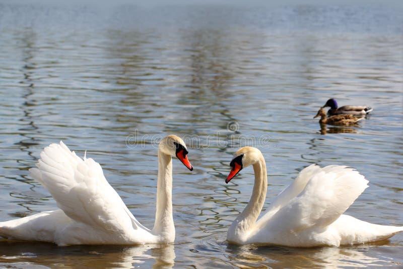 一个对在湖的白色天鹅 库存照片
