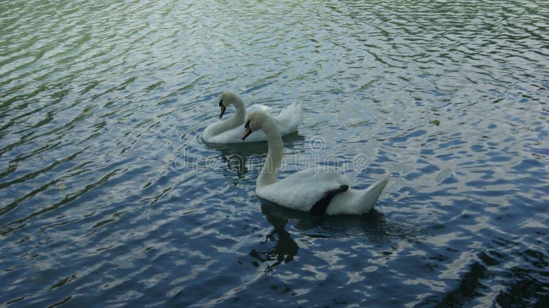 一个对在蓝色湖的天鹅 免版税图库摄影