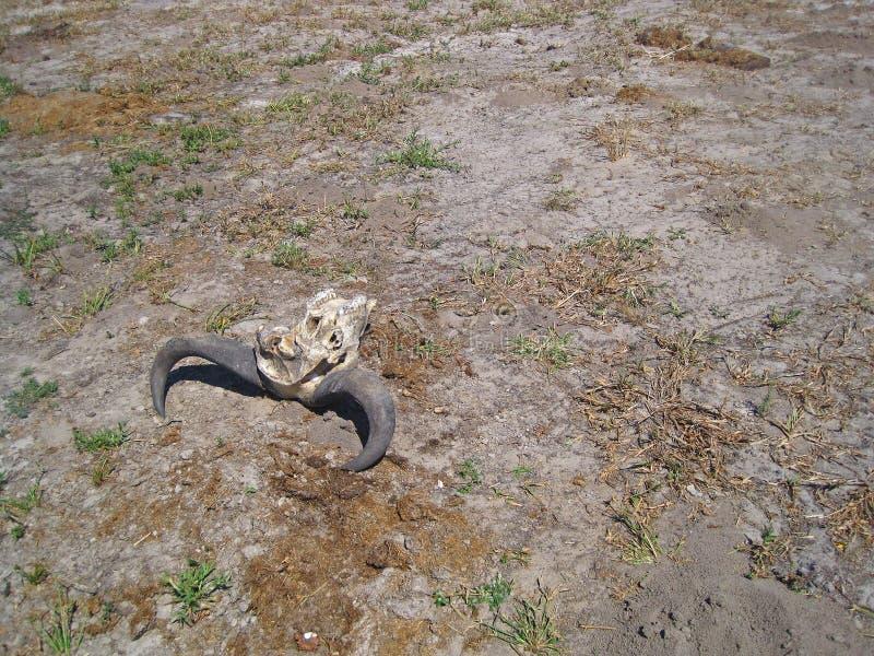 一个对水牛垫铁附有一部分的被漂白的头骨 库存照片