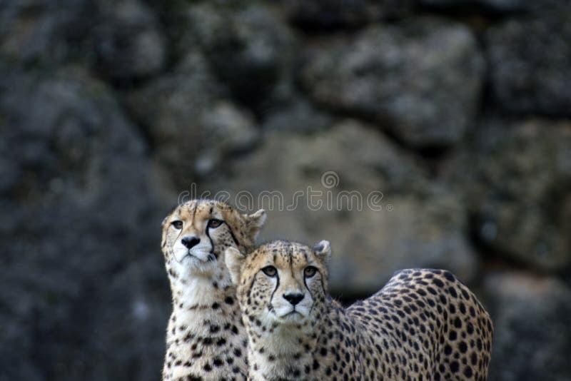 一个对猎豹在公园 库存照片
