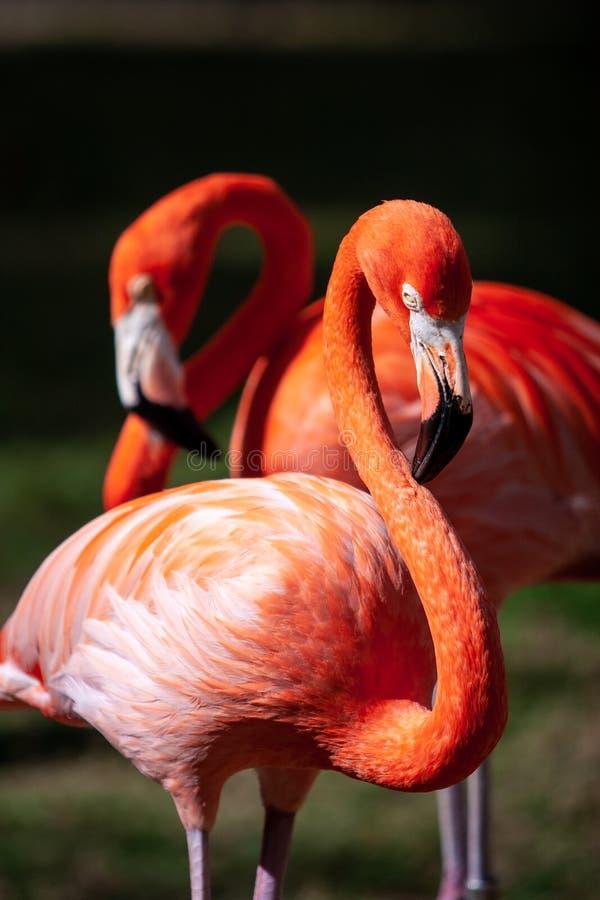 一个对的画象火鸟鸟在他们的自然环境里 免版税库存照片