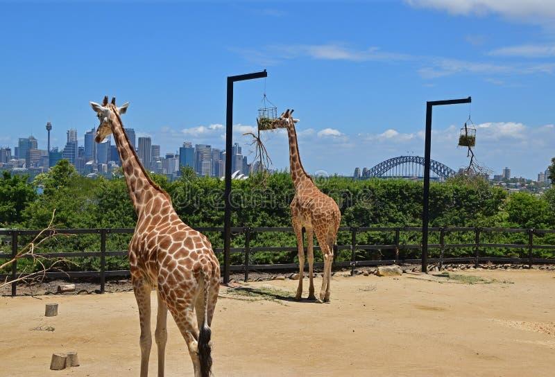 一个对长颈鹿在有悉尼地平线的Taronga动物园里在背景中 图库摄影