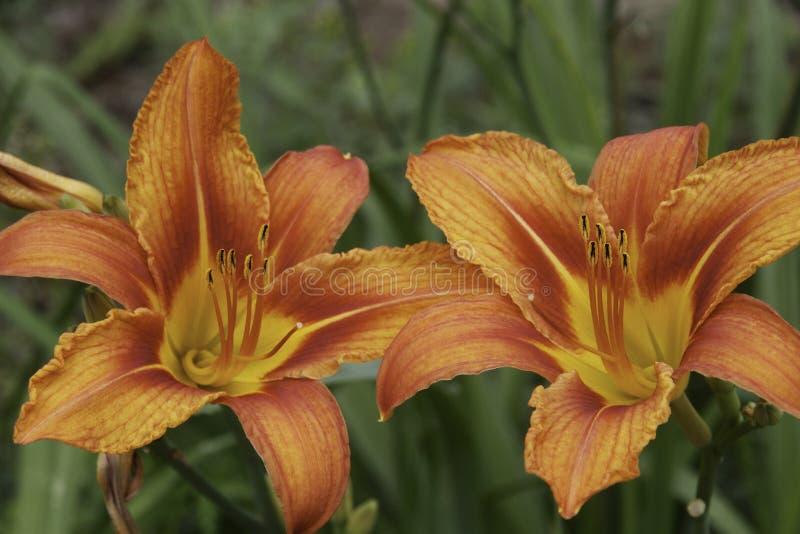 一个对lillies 免版税库存照片