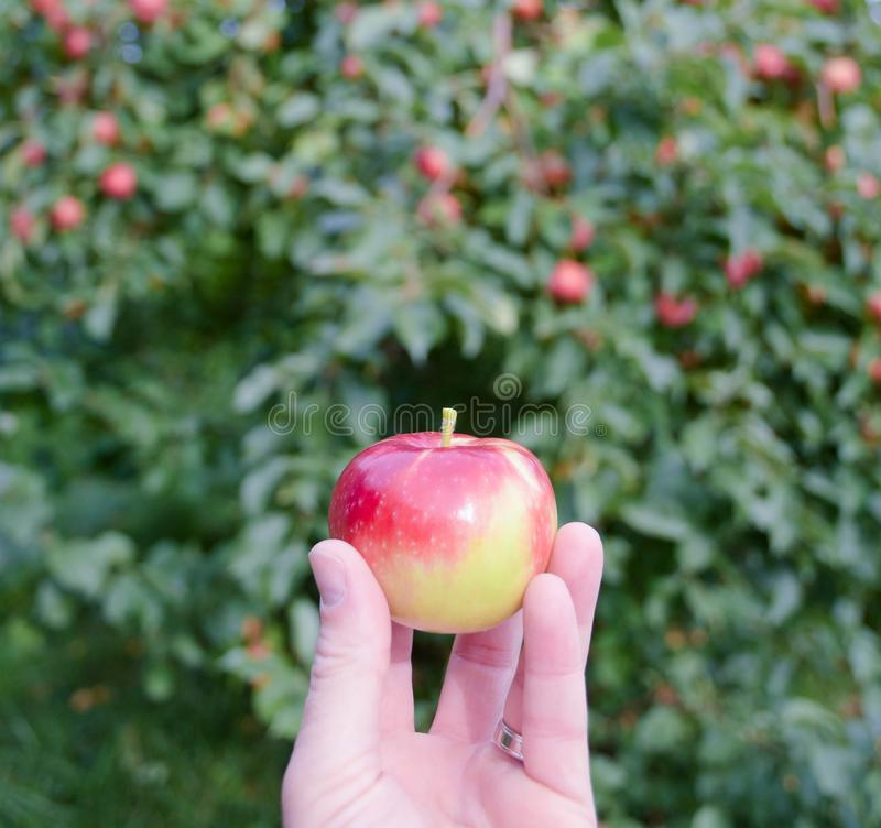 一个小宝拉红色苹果在果树园在手中举行了 库存照片