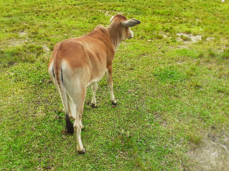 一个小棕色颜色母牛身分的后部视图在绿色草甸的 免版税库存图片