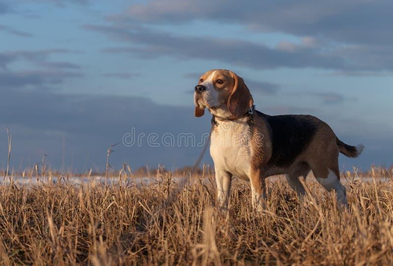 一个小猎犬的画象在春天步行的 库存图片