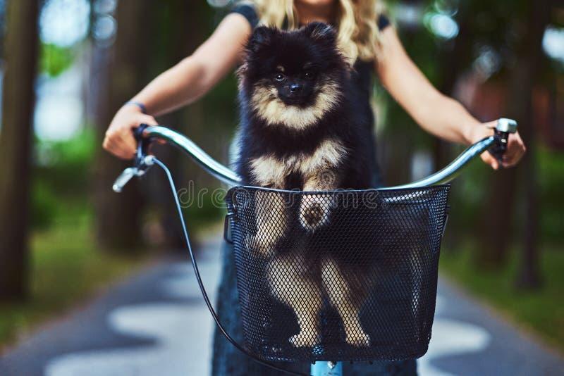 一个小白肤金发的女孩的画象一件便服的,举行逗人喜爱的波美丝毛狗狗 在一辆自行车的乘驾在公园 免版税库存照片