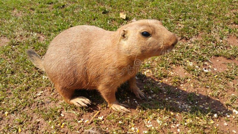 一个小的啮齿目动物动物 免版税库存照片