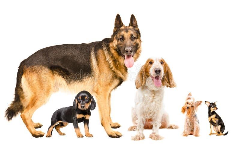 一个小组一起不同的品种五条逗人喜爱的狗  免版税库存照片
