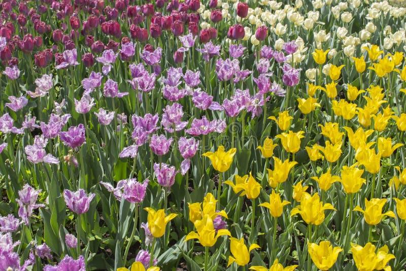 一个小组不同颜色品种郁金香  花郁金香,背景墙纸色的条纹  庭园花木的美丽的 免版税库存照片