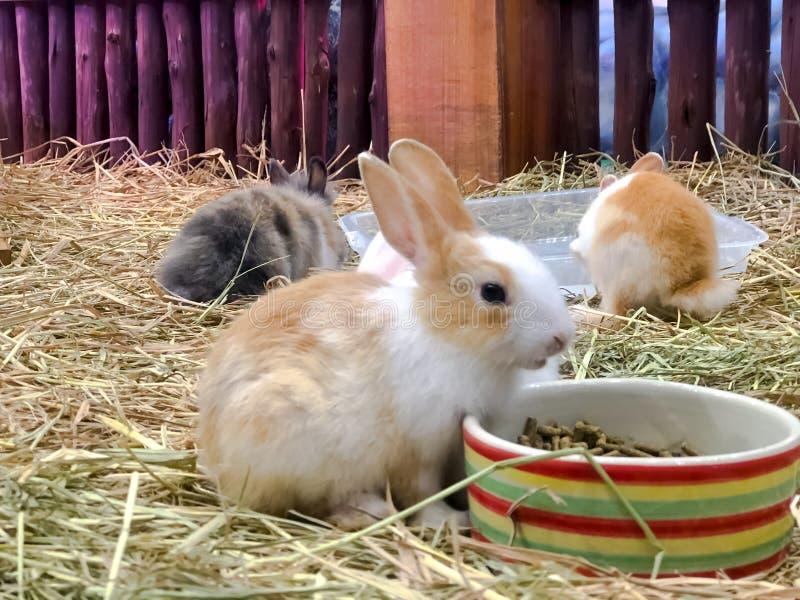 一个小组与干燥秸杆,哺养的动物的一点兔子 免版税库存图片